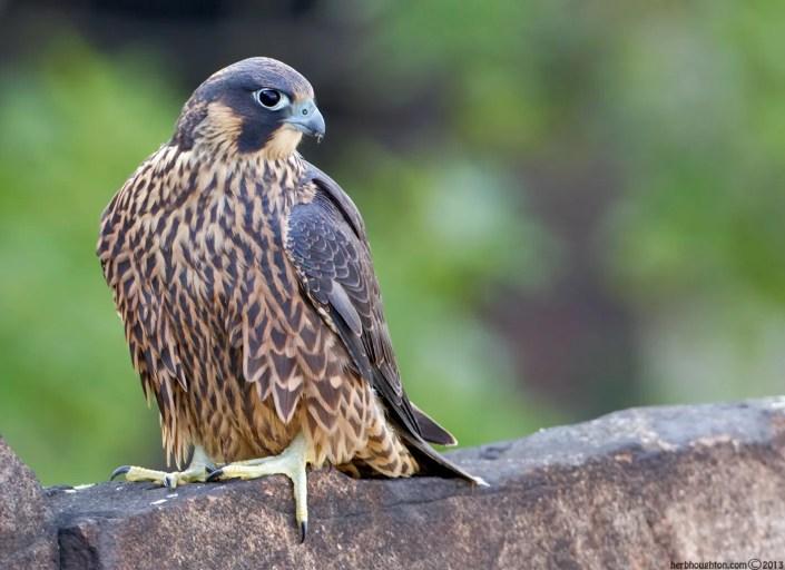 Juvenile peregrine falcon. © Herb Houghton