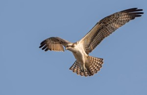 Ospreys return to their nesting grounds in mid-late March in New Jersey. © Howie Williams