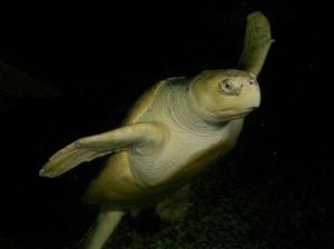 A Kemp's ridley turtle. Photo courtesy of Jenkinson's Aquarium.