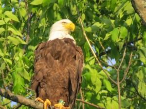 NJ banded bird B-64 taken in PA @ Linda Oughton