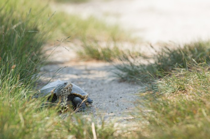 During full and new moon cycles females terrapins are hard NOT to see on Great Bay Blvd. in Little Egg Harbor, NJ.
