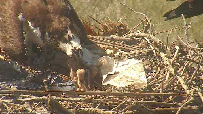 Three eggs have hatched at the Osprey Cam nest at Forsythe NWR in Oceanville.