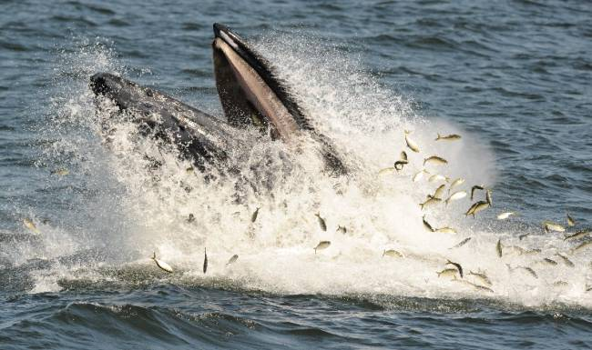 A humpback whale feeding on bunker fish Wednesday between Monmouth County and Long Island. Sightings in the region have increased significantly this year (c) Tyson Trish