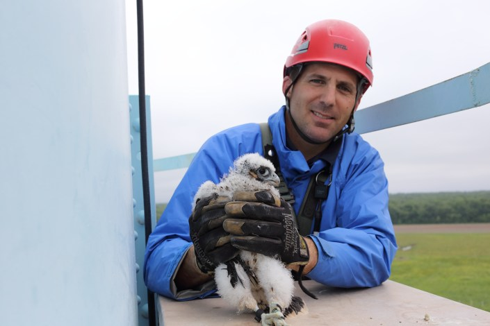 Don DeRogatis volunteered to help us safely climb a 130' water tower at Bayside State Prison this summer. His reward was holding this nestling peregrine falcon, which will one day be flying at speeds upwards of 200mph! Thanks, Don!! © Ben Wurst