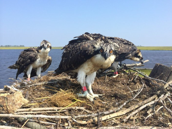 Three Osprey Young Wearing Red Bands. Photo by Ben Wurst.
