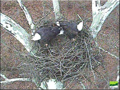 Duke Farm eagle pair work on their nest December 30, 2014