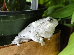 Northern Gray Treefrog @ M. Patterson
