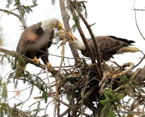 Shark River eagle pair preparing nest @ Tom McKelvey