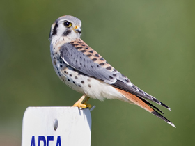 An American kestrel. Photo courtesy of Jim Gilbert.