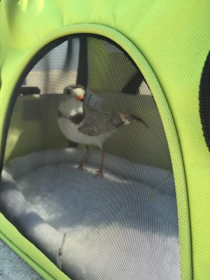"A male piping plover in ""holding pen"" awaiting his debut sporting his new bands and transmitter to be used for tracking."