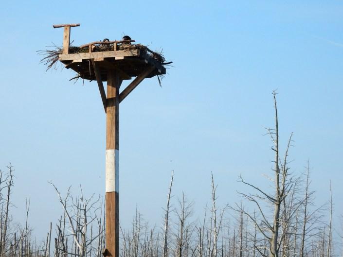 eagle chicks in new nest@K. Clark