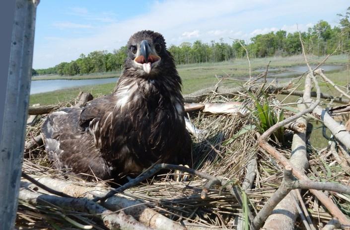 Re-nested eagle chick in platform nest @ K. Clark