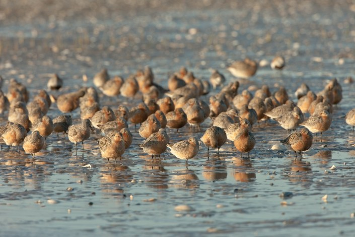 Red Knot Photo by: Jan van der Kam
