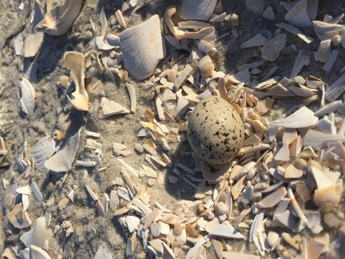 Look closely - a piping plover egg showing signs of hatching.