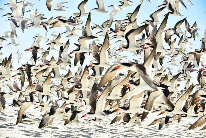 """Where's Waldo"" - Black Skimmer Edition, as the colony takes flight. Photo by Sushanth Allapalli."