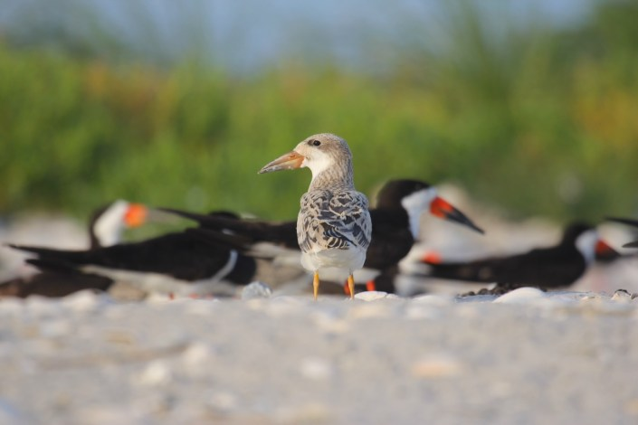 A recently fledged black skimmer chick stands out against the colony. Photo by Laura Hardy.