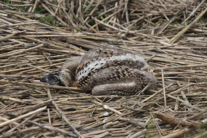 osprey chick found on ground July 6th, 2015, Avalon @ M. Kolk