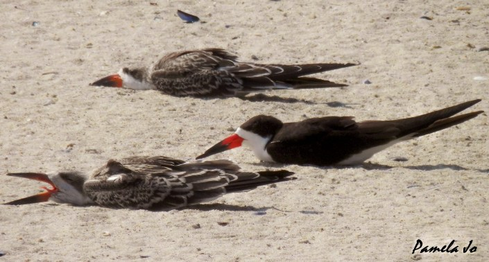 "Black skimmer fledglings executing their ""infamous"" sand flop. Photo by Pamela Jo Capone."