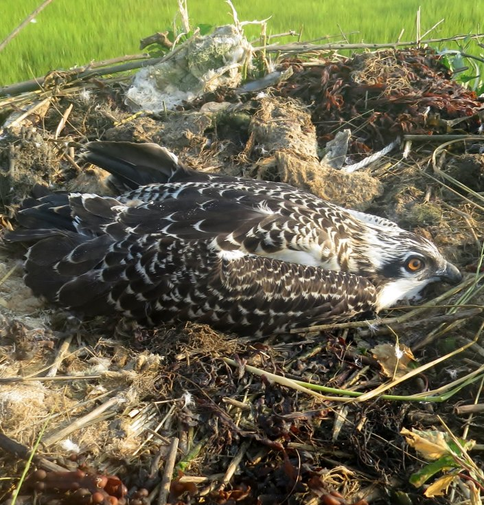 Chick in foster nest July 29th, 2015 @ M. Tribulski