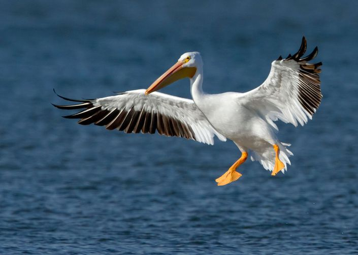 """American White Pelican"" by Manjith Kainickara - originally posted to Flickr as American White Pelican. Licensed under CC BY-SA 2.0 via Commons - https://commons.wikimedia.org/wiki/File:American_White_Pelican.jpg#/media/File:American_White_Pelican.jpg"