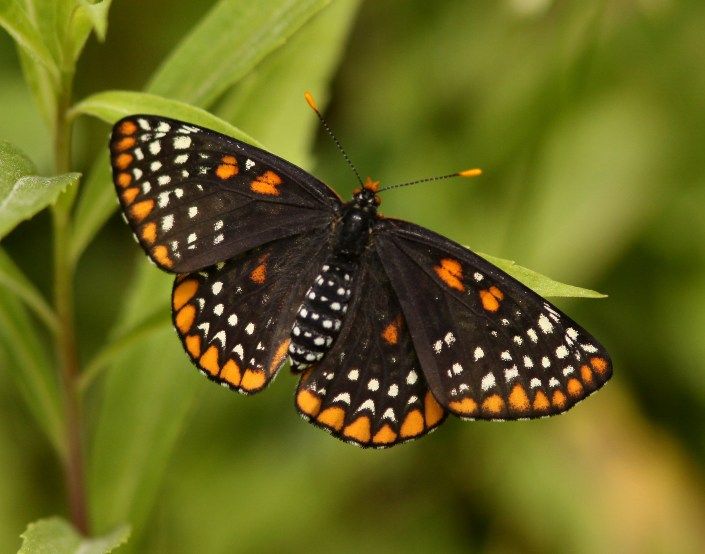 Baltimore_Checkerspot_1