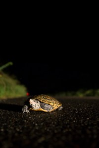 Terrapins do occasionally nest at night. Photo by Ben Wurst