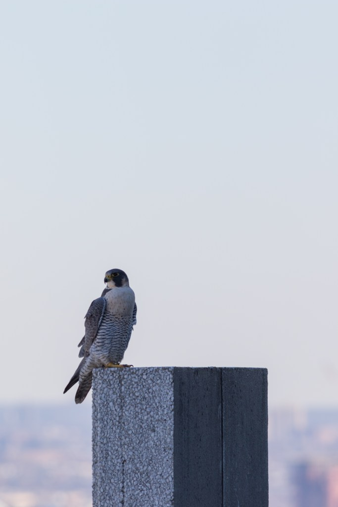 Juliette on a perch atop 101 Hudson St. Photo by Ben Wurst
