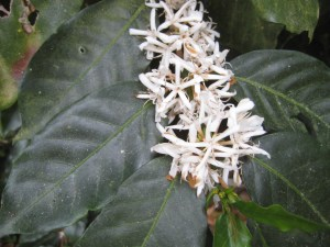 Coffee plant while it is flowering © K.Triece