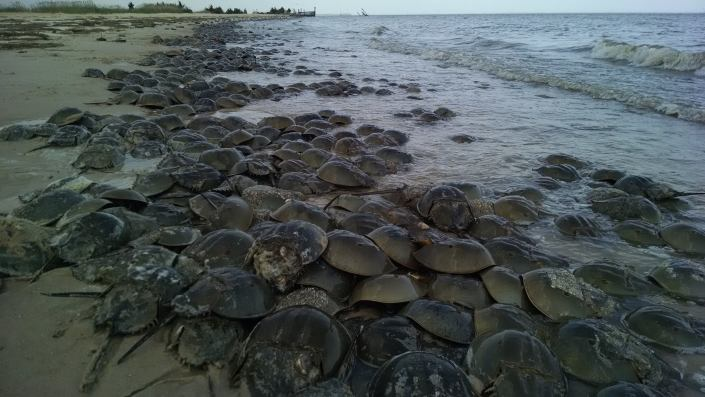 Horseshoe crabs spawning at Thompsons Beach in May 2015. Photo by Joe Smith.