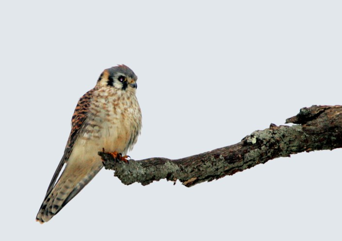 American Kestrel photo by Robert Lin.
