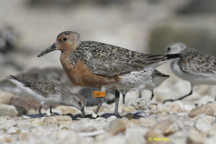Banded Red Knot photo by Mark Peck.