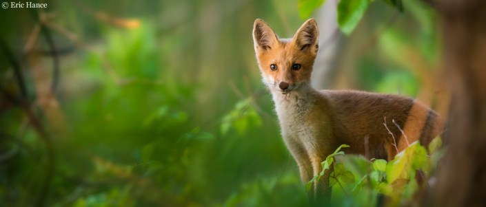 Red fox by Eric Hance.