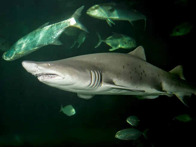 A sand tiger shark. Photo courtesy of Gerald Walters & Jenkinson's Aquarium.