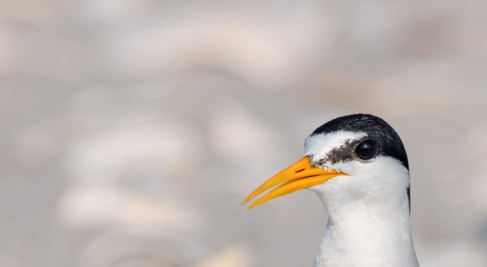 Least tern photo by Northside Jim.