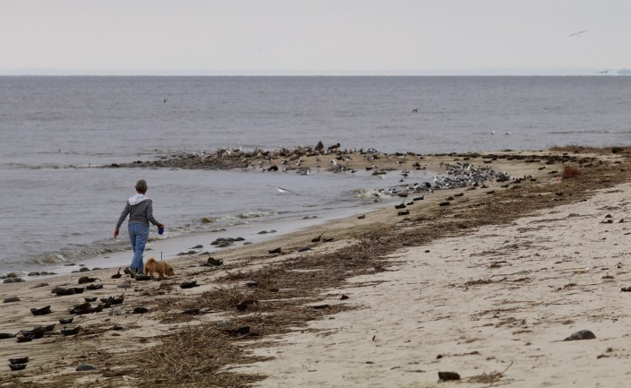 person disturbing shorebirds with dog