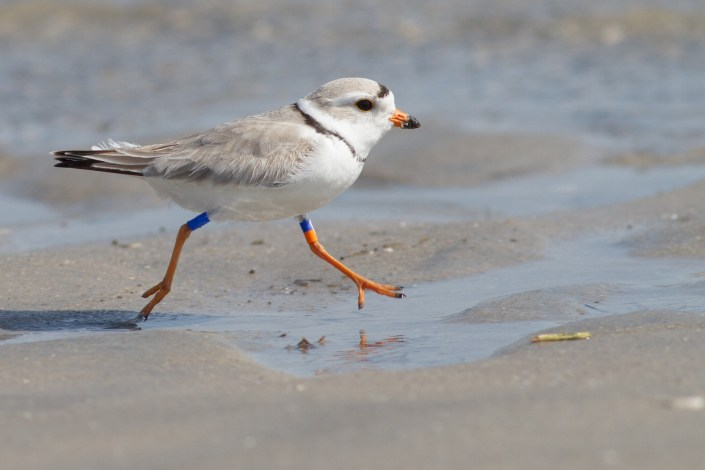 "Meet Bob, Avalon's ""famed"" long-time breeding piping plover, easily identifiable by his color bands. Photo courtesy of Tom Reed."