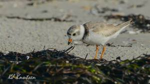 "One of the newest ""residents"" of Island Beach State Park, an adult breeding piping plover. Photo courtesy of Kevin Knutsen."