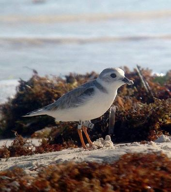 Piping Plover E4, spotted by CWF staff in the Bahamas and Canada, and last week it made a stop in New Jersey during migration. Photo courtesy of Stephanie Egger.