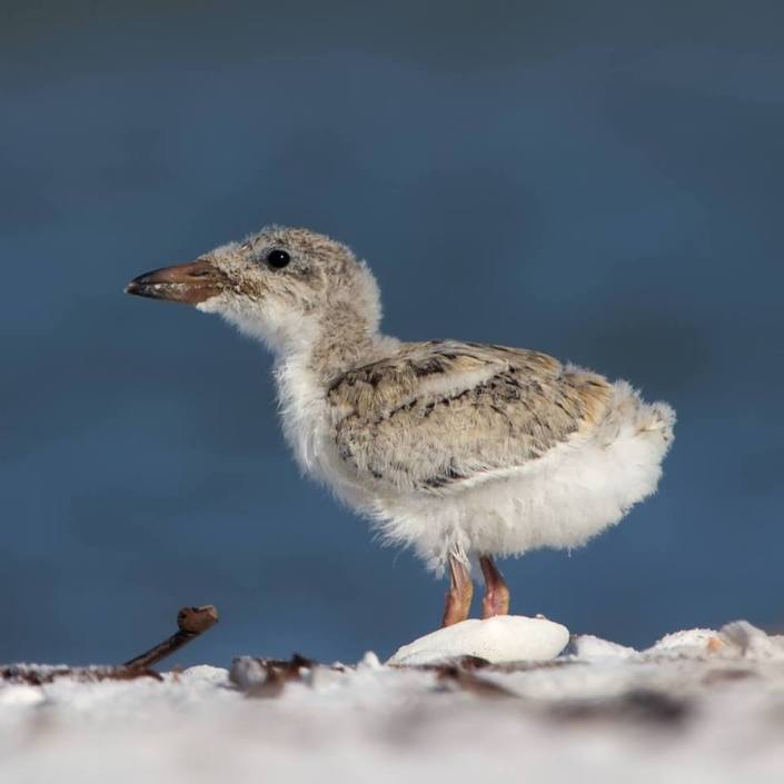 Beach nesting bird chicks, such as this black skimmer - New Jersey's first skimmer chicks hatched this weekend - are especially vulnerable to the extra large crowds and fireworks on the beach during July 4th celebrations and other busy summer weekends. Photo courtesy of Jean Hall.