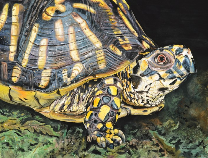 Eastern Box Turtle by James Fiorentino.
