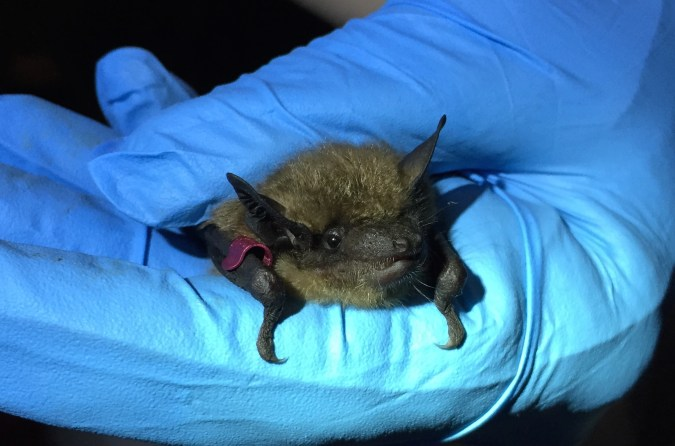 Big brown bat. Photo courtesy of Stephanie Feigin.