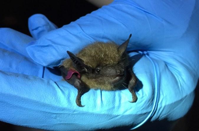 Big brown bat. Photo courtesy of Stephanie Feigin.