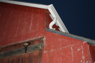Big brown bat emerging from barn. Photo courtesy of Mackenzie Hall.