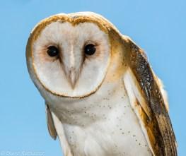 barn-owl-by-blaine