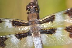 dragonfly-2-by-blaine