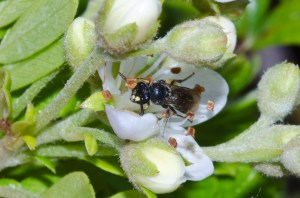 Hylaeus assimulans is one of the seven species of yellow-faced bee to receive Endangered Species Act protection. Photo: John Kaia. Picture taken from Xerces Society.