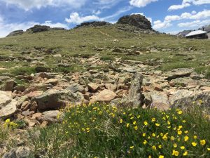 Wildflowers blooming in the Rocky Mountains