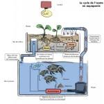 Aquaponie, un système vertueux