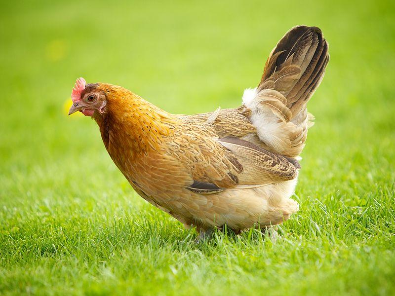 Résultats de recherche d'images pour «une poule»