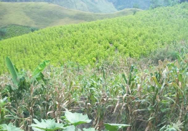 Las condiciones de sustitución de cultivos ilícitos según los campesinos